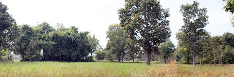 Panorama rural agriculture rice farm Royalty Free Stock Images