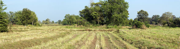 Panorama rural agriculture rice farm Royalty Free Stock Photography