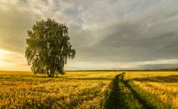 Panorama of a rural field with wheat, a lonely birch and a dirt road at sunset, Russia. August royalty free stock photography