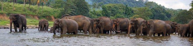 Panorama słonia stado w wodzie Zdjęcia Stock