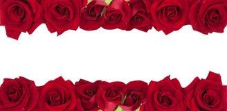 Panorama- samling av nya röda rosor som isoleras på vit backgr Arkivfoton