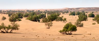 Sand dunes and trees in Sahara desert royalty free stock photography