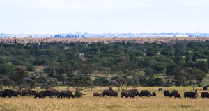Panorama of savanna. Big herds of Africa. Landscape with buffalo. Royalty Free Stock Photography