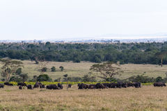 Panorama of savanna. Buffalos. Big herds of Africa. Kenya. Royalty Free Stock Image