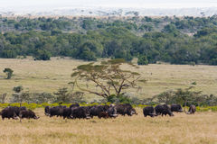 Panorama of savanna with buffalos. Big herds of Africa. Landscape with buffalo. Nakuru. Panorama of savanna with buffalos. Big herds of Africa. Landscape with Royalty Free Stock Photo