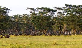 Panorama of savanna. Landscape with buffalo. Nakuru, Kenya. Africa Royalty Free Stock Photography