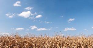 Panorama sec de zone de maïs Photographie stock