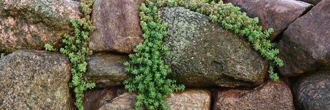 Panorama.Sedum among stones. Stock Photos