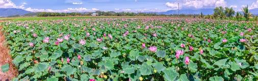 Panorama Selective focus blurred lotus blooming Royalty Free Stock Photos
