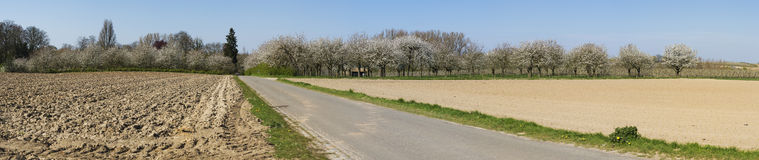 Panorama of several pear orchards Stock Photography