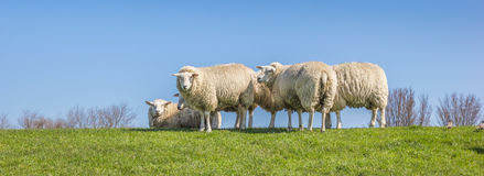Panorama of sheep on a dike in the Netherlands. Panorama of white sheep on a dike in the Netherlands Royalty Free Stock Photography