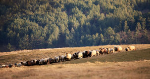 panorama with sheeps Royalty Free Stock Photos