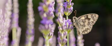 Chessboard butterfly in lavender as a panorama royalty free stock photos
