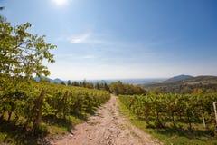 Panorama- sikt av en vingård Arkivbilder