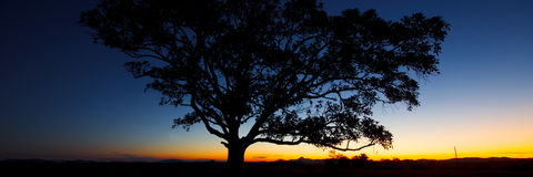 Panorama of a silhouette tree at dusk. Royalty Free Stock Image