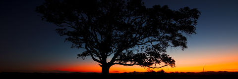 Panorama of a silhouette tree at dusk. Royalty Free Stock Photo