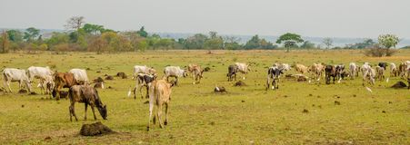 Panorama of skinny African cattle herd grazing and walking on green field in Ivory Coast, West Africa.  royalty free stock photography