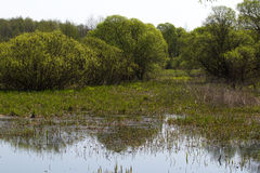 Panorama small river with reed on northern part of Ukraine, Sumy region. Riparian vegetation Salix sp. Flooded meadows Royalty Free Stock Photos