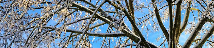Panorama of snow covered boughs after winter storm. Blue skies prevail after snow and ice were deposited across trees in the northeastern united states.  The Stock Image
