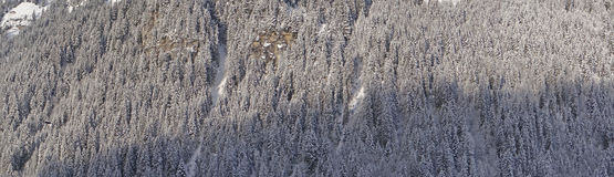 Panorama of snow  covered conifers Royalty Free Stock Photos