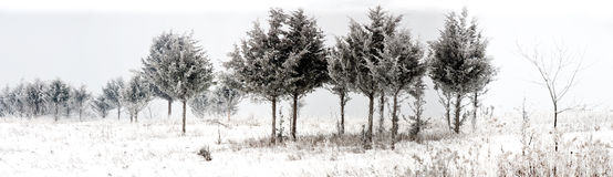 Panorama of snowy winter trees