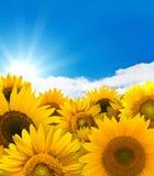 panorama słonecznik Zdjęcia Royalty Free