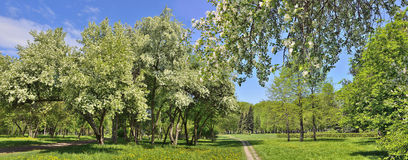 Panorama of spring city park with blooming apple trees Royalty Free Stock Photos