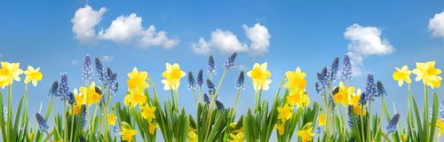 Daffodils and grape hyacinths as flower panorama stock images