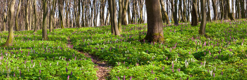 Panorama of the spring forest Stock Images