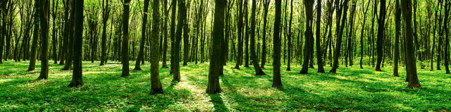 Panorama of spring forest Royalty Free Stock Image