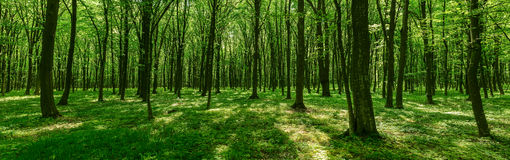 Panorama of spring forest Stock Photos