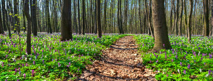 Panorama of the spring forest. Stock Photo