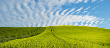 Panorama spring green field, lonely tree on a field stock image
