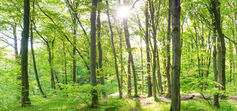 Panorama of spring green forest Royalty Free Stock Photos