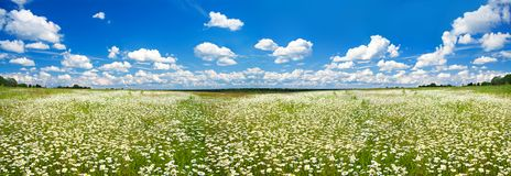 Panorama spring landscape with a flowering flowers on meadow stock image