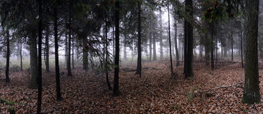 Panorama of spruce forest Stock Image
