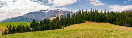 Panorama of spruce forest on a hill. Lovely springtime landscape with snowy tops of Borzhava mountain ridge in the distance Stock Photos