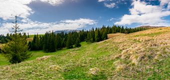 Panorama of spruce forest on a mountain hill side. Panorama of spruce forest on a hill side meadow in high mountains on a cloudy springtime day. lovely landscape Royalty Free Stock Image