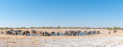 Panorama stado Afrykańscy słonie przy waterhole w Namibia Zdjęcie Royalty Free