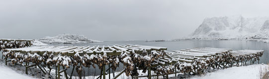 Panorama of stockfish (cod) drying during winter time on  Lofote Stock Photo