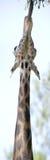 panorama- strech för giraff Fotografering för Bildbyråer