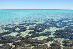 Panorama Stromatolites Shark Bay Western Australia Stock Images