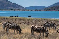 Panorama Sudafrica della savanna degli ippopotami e delle zebre con molto più parole immagine stock