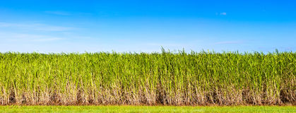 Panorama of sugar cane plantation Stock Image