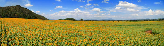 Panorama Sunflower Field Royalty Free Stock Images