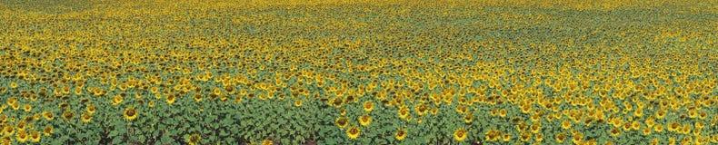 Panorama sunflower field Stock Photos