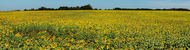 Panorama sunflower field Royalty Free Stock Photo