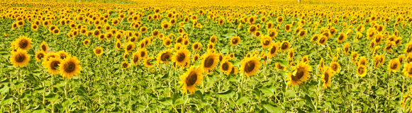 Panorama of sunflower field Stock Image