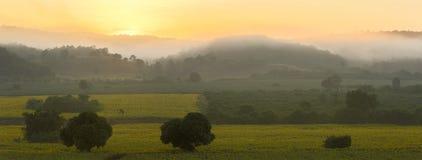 Panorama of Sunflower plantation at sunrise Stock Images