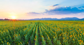 Panorama of sunflowers field with sunset.  Stock Image